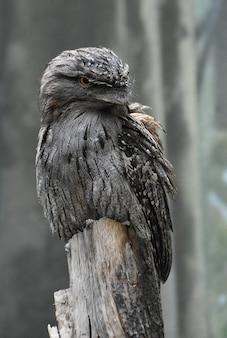 Pássaro tawny frogmouth sentado no toco de uma velha árvore.