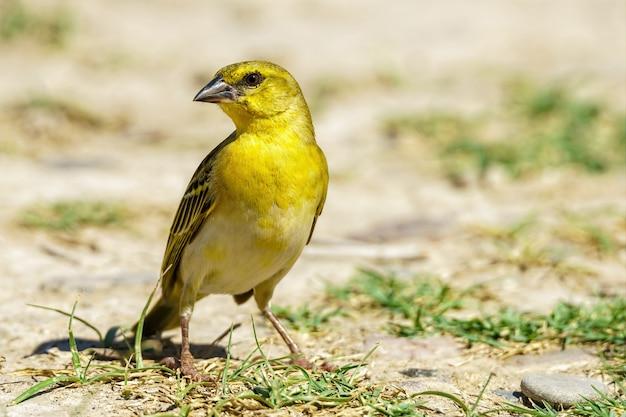 Pássaro tecelão amarelo