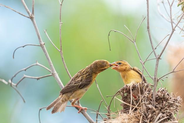 Pássaro (tecelão dourado asiático) alimentando pássaro bebê