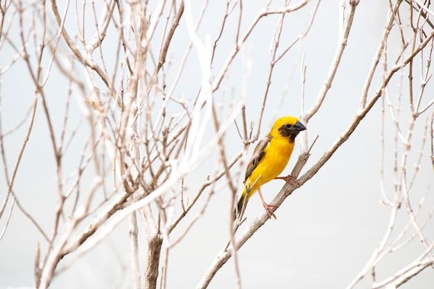 Pássaro tecelão segurar na árvore ramo seco