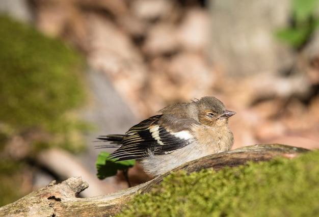 Pássaro tentilhão comum doente no chão