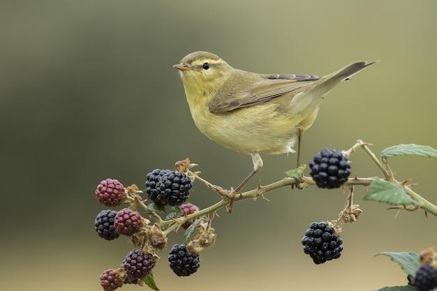 Pássaro toutinegra de salgueiro empoleirado em um galho com frutas em um cenário desfocado