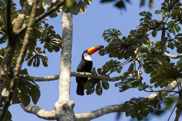 Pássaro tucano na natureza em foz do iguaçu, brasil