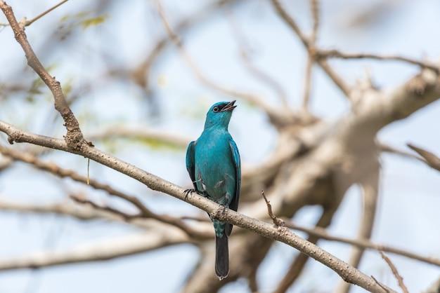 Pássaro (verditer flycatcher, eumyias thalassinus) azul em todas as áreas do corpo