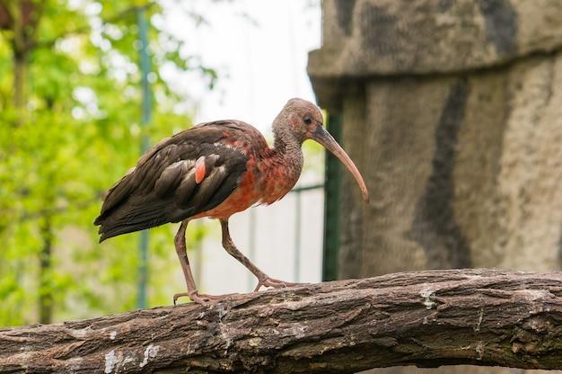 Pássaro vermelho e cinza chamado ibis em pé em uma árvore