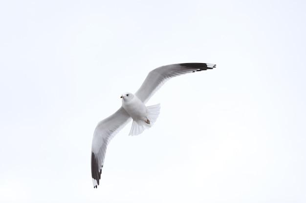 Pássaro voando seagull, símbolo do céu isolado do conceito de liberdade