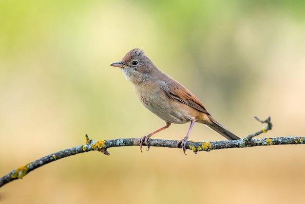 Pássaro whintethroat comum no galho com calor