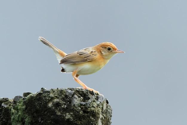 Pássaro zitting cisticola esperando por comida