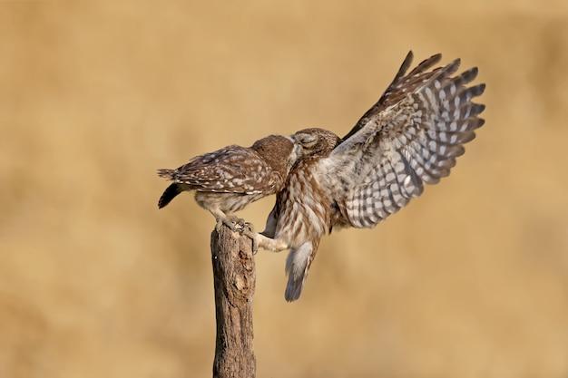 Pássaros adultos e filhotes de corujinha (athene noctua) são fotografados em close-up de perto em um fundo desfocado.