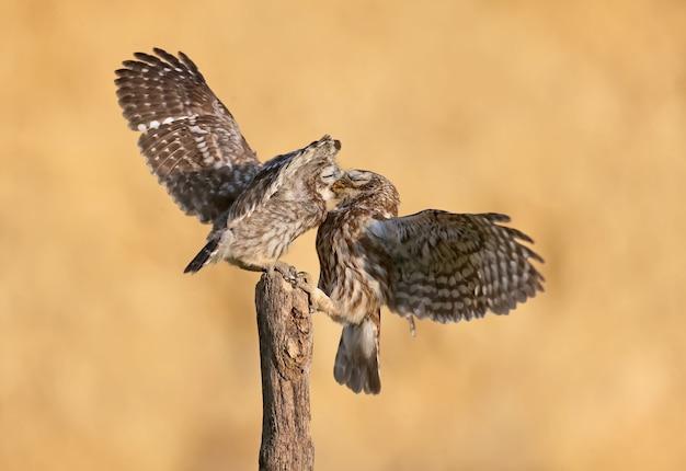 Pássaros adultos e filhotes de corujinha (athene noctua) são fotografados em close-up em um fundo desfocado.