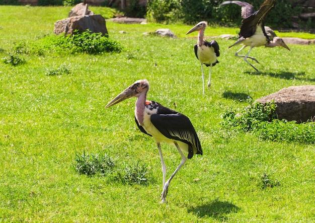 Pássaros africanos cegonham marabu no verão