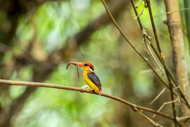 Pássaros, aves coloridas, martim-pescador-de-asa-preta (martim-pescador-anão-oriental) ou martim-pescador-de-três-dedos