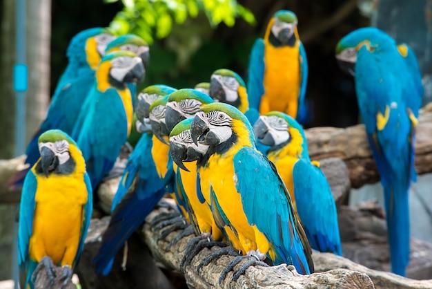 Pássaros azuis e amarelos da arara que sentam-se na filial de madeira. pássaros coloridos da arara na floresta.