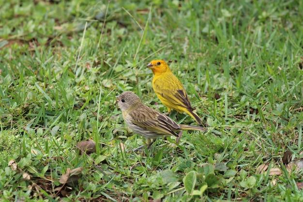 Pássaros canários