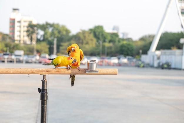 Pássaros de papagaio-conure-do-sol na barra de madeira com uma roda gigante turva no fundo