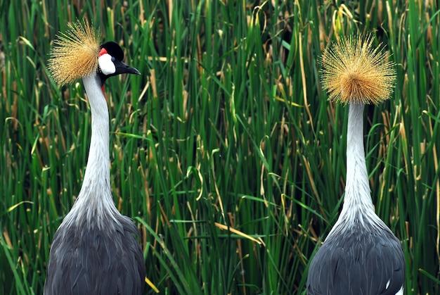 Pássaros de uganda - o guindaste coroado cinzento