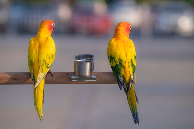 Pássaros do papagaio conure sol na madeira