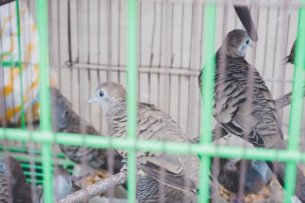 Pássaros em gaiola esperando por pessoas liberando, para fazer mérito, a religião acredita