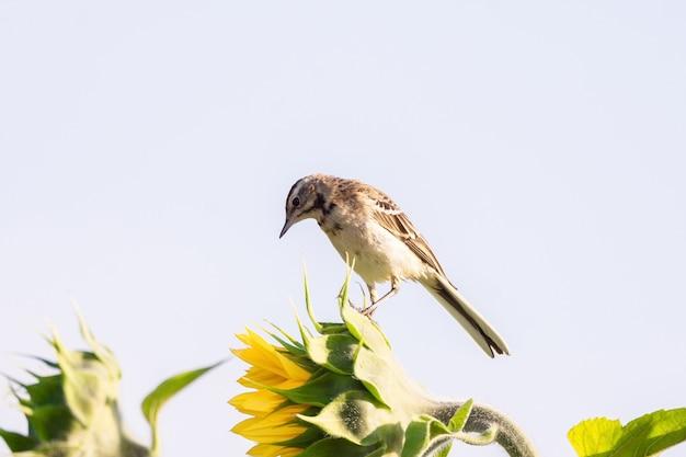 Pássaros em uma flor amarela