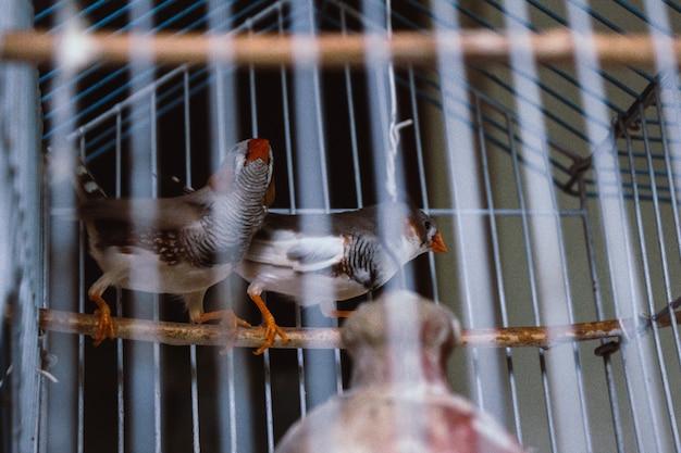 Pássaros enjaulados