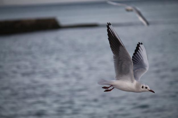 Pássaros gaivotas comuns estão voando acima do mar durante o tempo tempestuoso