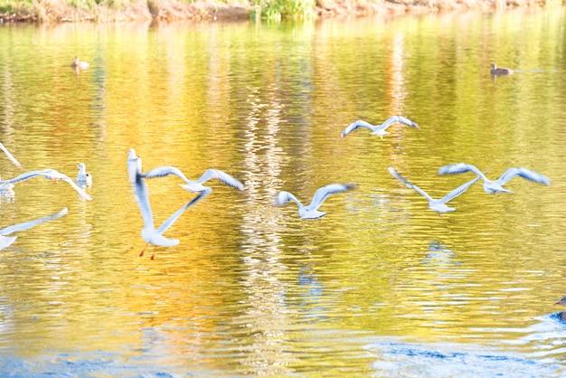 Pássaros, gaivotas em bandos voando acima da água