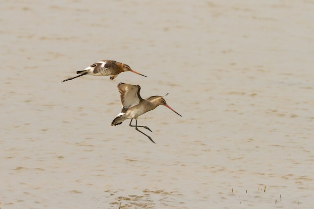 Pássaros-limosas-pintinhos-de-cauda-preta voando com um longo bico sobre a lagoa