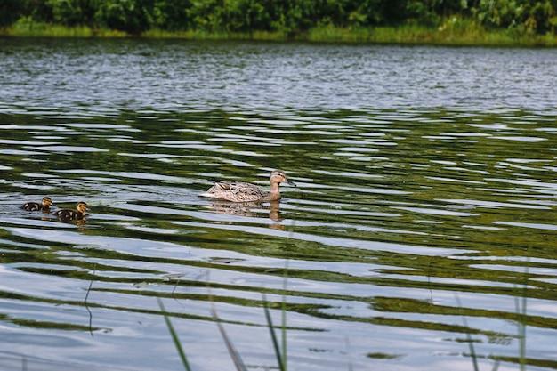 Pássaros na lagoa. um bando de patos e pombos perto da água. aves migratórias à beira do lago.