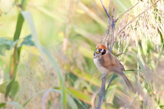 Pássaros na natureza, paradoxornis guttaticollis