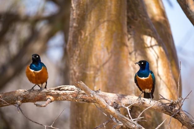 Pássaros nativos muito coloridos pousam em galhos de árvores