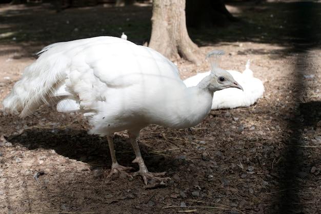Pássaros raros. close de um pavão branco