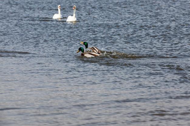 Pássaros selvagens patos