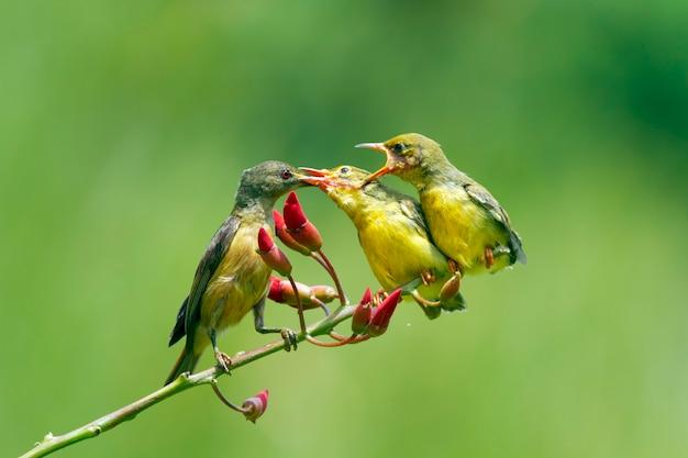 Pássaros-sol de dorso verde-oliva alimentando a criança