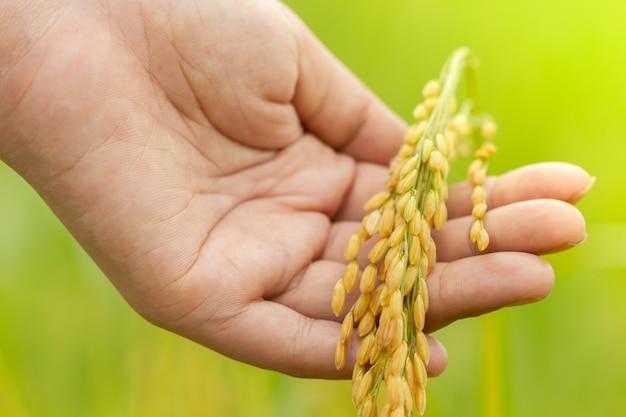 Passe segurar, arroz, grãos, entre, arroz, campos
