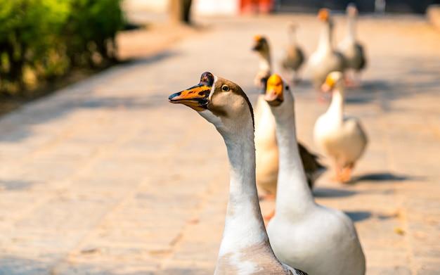 Passeando com os patos no parque exterior do zoo kathmandu nepal