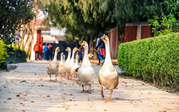 Passeando com patos em parque ao ar livre