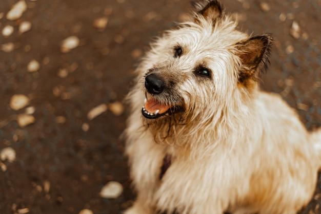 Passear com os cães. cão de um abrigo de animais. terrier cachorro de cabelos compridos para passear no parque. pet care, saúde animal de estimação.