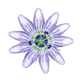 Passiflora aquarela em flor.
