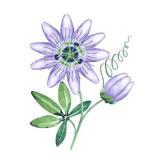Passiflora aromática em aquarela.