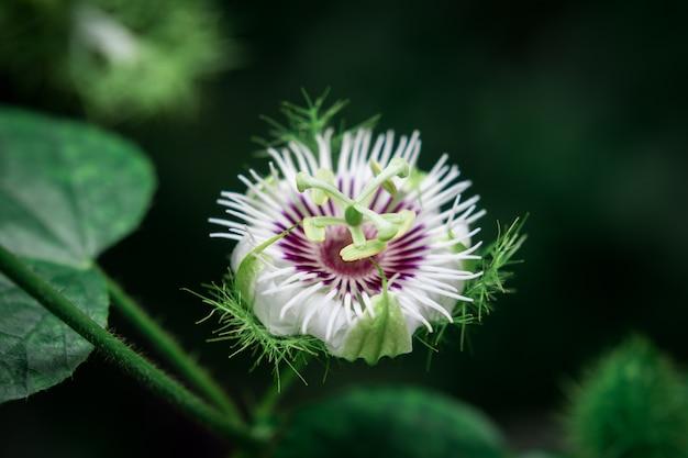Passiflora foetida chuva molhada