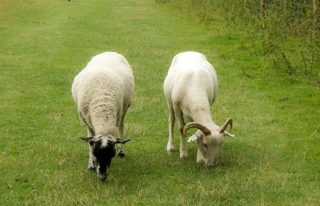 Pastagem de caprinos