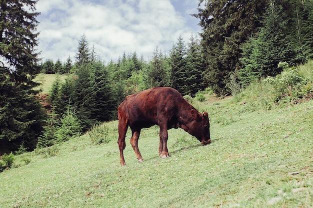 Pastagem de montanha com vacas. o sangue nas montanhas. paisagem de verão nas montanhas com uma vaca