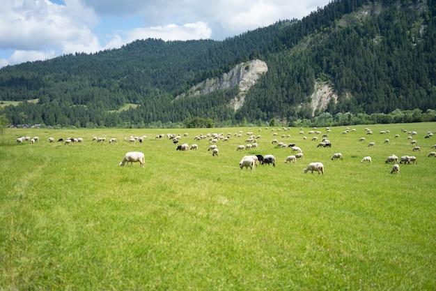 Pastagem ensolarada com rebanho de ovelhas pastando