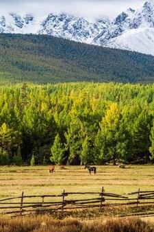 Pastando cavalos no fundo do cume do norte chuysky. rússia, república altai