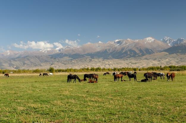 Pastar nas montanhas, cavalos pastam em um prado verde