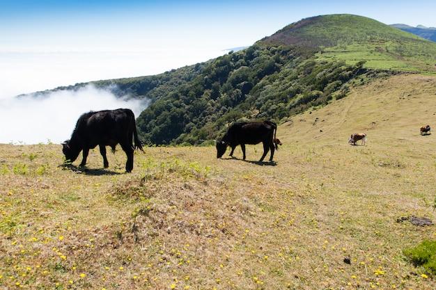 Pasto de vaca e vitela nas montanhas madeira