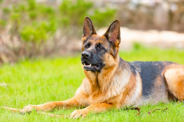 Pastor alemão deitado na grama do parque. retrato de um cão de raça pura.