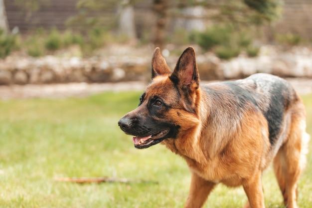 Pastor alemão jogando na grama do parque. retrato de um cão de raça pura.