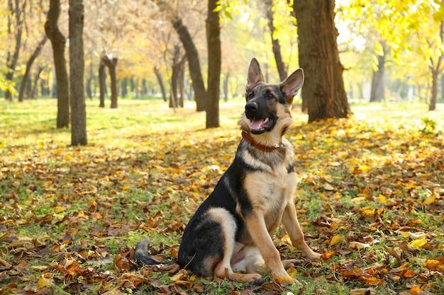 Pastor alemão no parque outono. cão na floresta