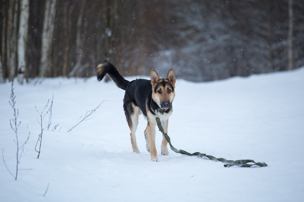 Pastor alemão puro-sangue pula e corre na neve